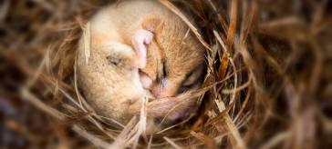 Hibernating Doormouse